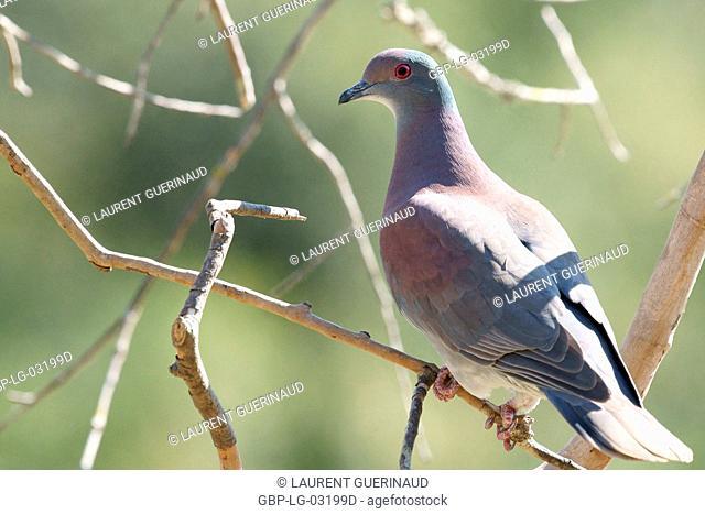 Ave, Dove-Galician, Pantanal, Mato Grosso do Sul, Brazil
