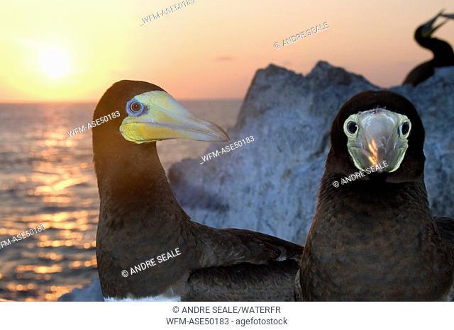 Couple of brown boobies at sunset, Sula leucogaster, Saint Peter and Saint Paul Rocks, Atlantic Ocean, Brazil