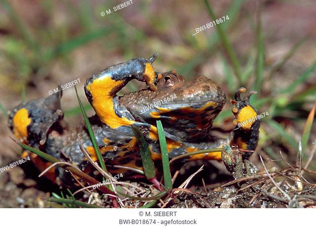yellow-bellied toad, yellowbelly toad, variegated fire-toad (Bombina variegata), unken reflex, Germany, Hesse