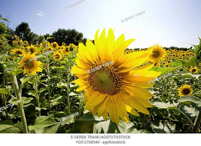 North America Canada Ontario field of Sunflowers close up