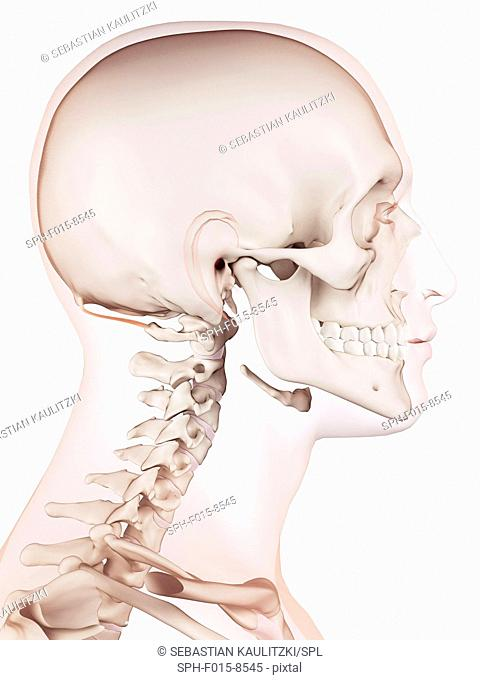 Human head muscles, illustration