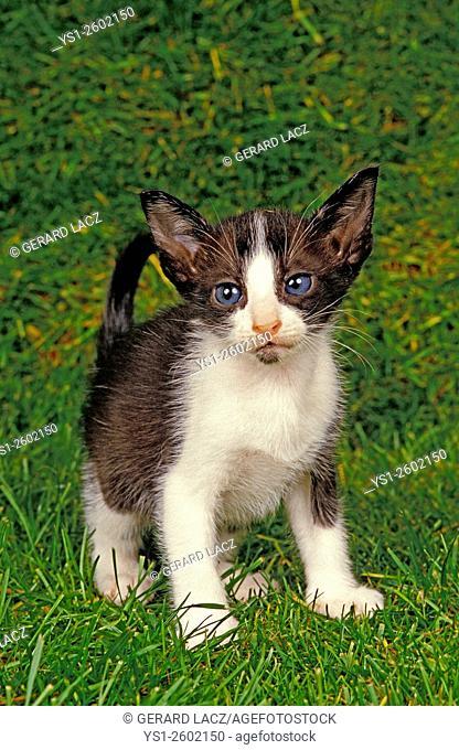 Oriental Domestic Cat, Kitten standing on Grass