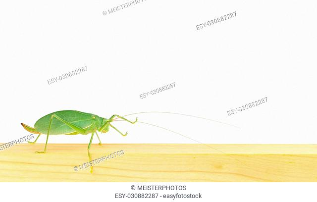 Side view of long-horned grasshopper, walking along piece of lumber