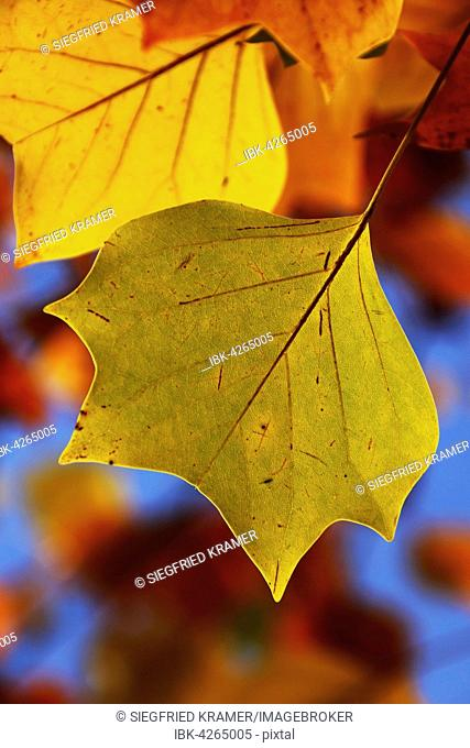 Tulip tree (Liriodendron tulipifera), colourful leaves, Germany