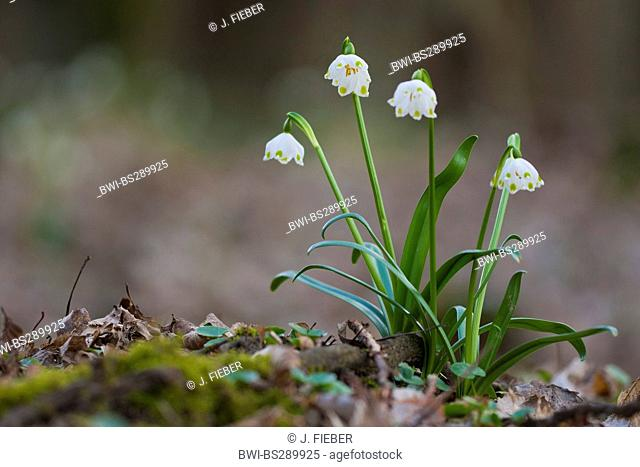 spring snowflake (Leucojum vernum), blooming, Germany, North Rhine-Westphalia