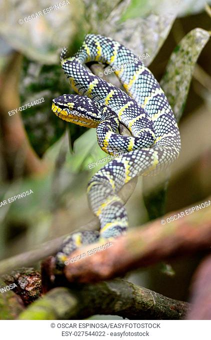A snake in the jungle in Bukit Lawang, Sumatra, Indonesia