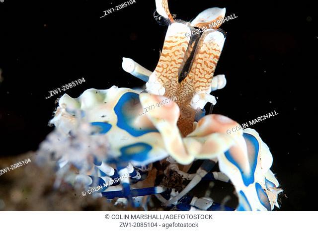Harlequin Shrimp (Hymenocera elegans) at Seraya in Bali in Indonesia