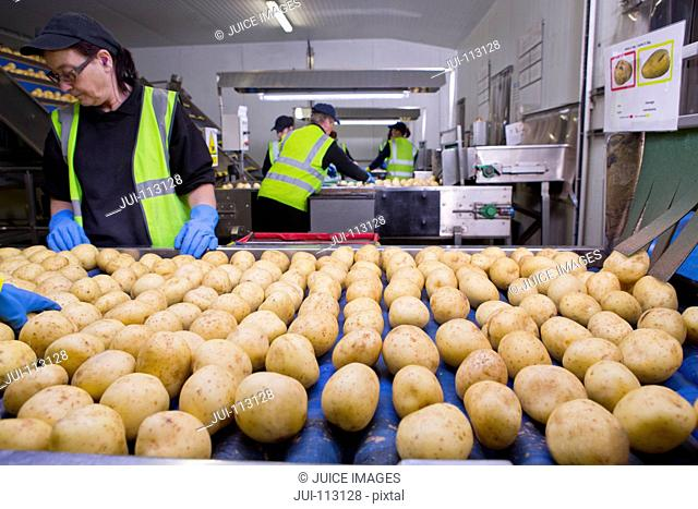 Quality control workers inspecting potatoes on conveyor belt