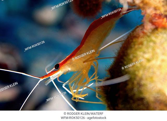 scarlet-striped cleaning shrimp, Lysmata grabhami, Caribbean Sea, Cayman Islands