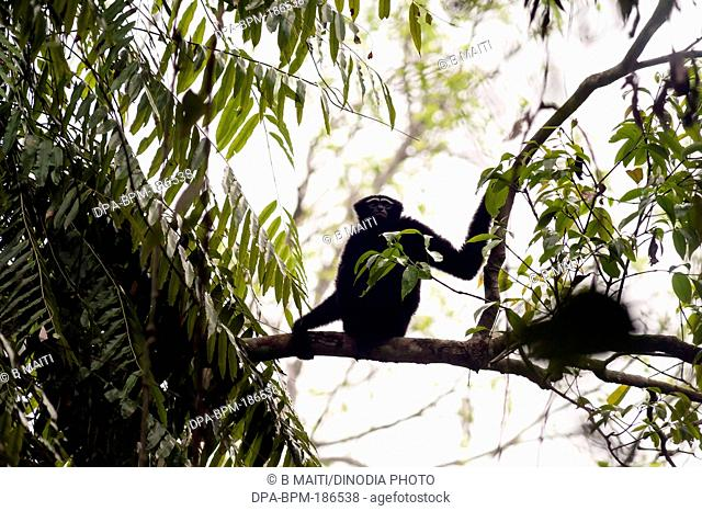 black male hollong gibbons on tree branch in Jorhat at Assam India Asia