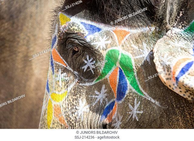 Decorated Asian Elephant (Elephas maximus indicus). Jaipur, Rajasthan, India
