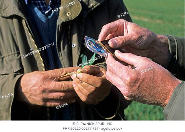 Farmer and agronomist, inspecting growth stage of wheat crop, Hertfordshire, England, spring