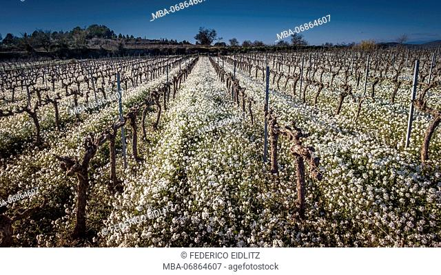 Cut grapevines surrounded by white flowers