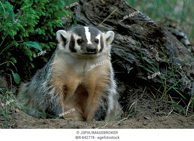 American Badger (Taxidea taxus), adult outside its den, Montana, USA, North America