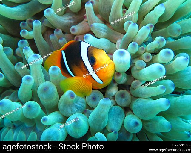 Sea anemone (Actiniaria), Red Sea clownfish (Amphiprion bicinctus), Red Sea, Egypt, Africa