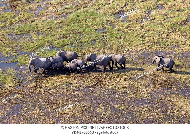 African Elephants (Loxodonta africana), roaming in a freshwater marsh, aerial view, Okavango Delta, Botswana. . The Okavango Delta is home to a rich array of...