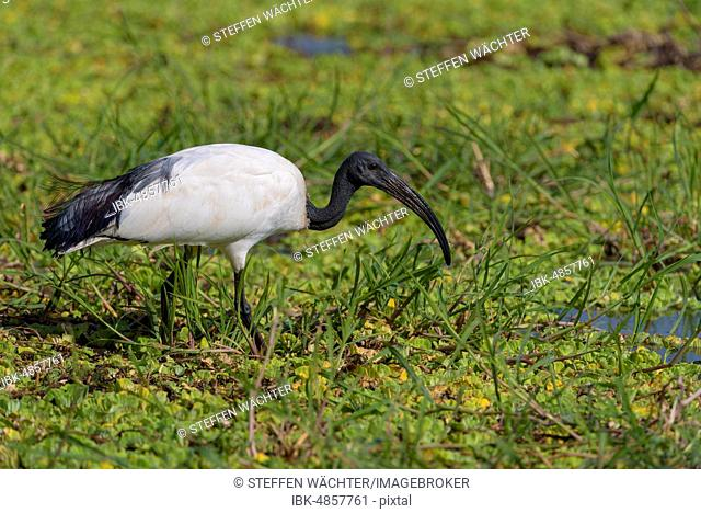 African sacred ibis (Threskiornis aethiopicus) in the swamp, South Luangwa National Park, Zambia