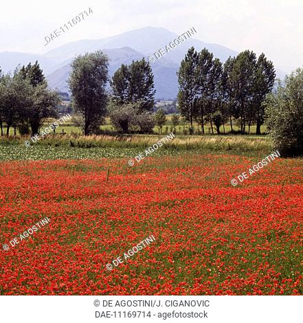 Landscape with poppies and trees in the Aterno river valley, Abruzzo, Italy
