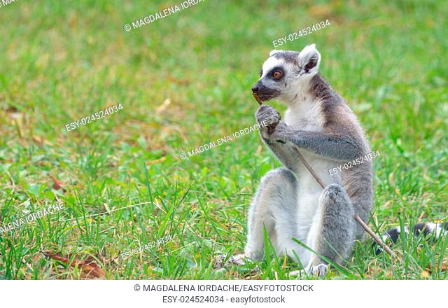 ring-tailed lemur (lemur catta) on field
