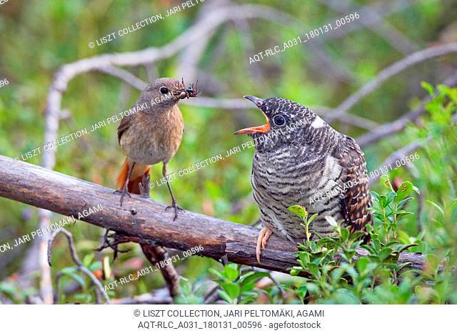 Kaki 0040 Cuckoo Kiiminki Finland August 2008, Cuculus canorus, Common Cuckoo