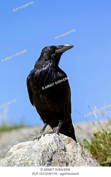 Common raven / northern raven (Corvus corax) perched on rock