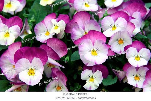 Stiefmütterchen Viola tricolor
