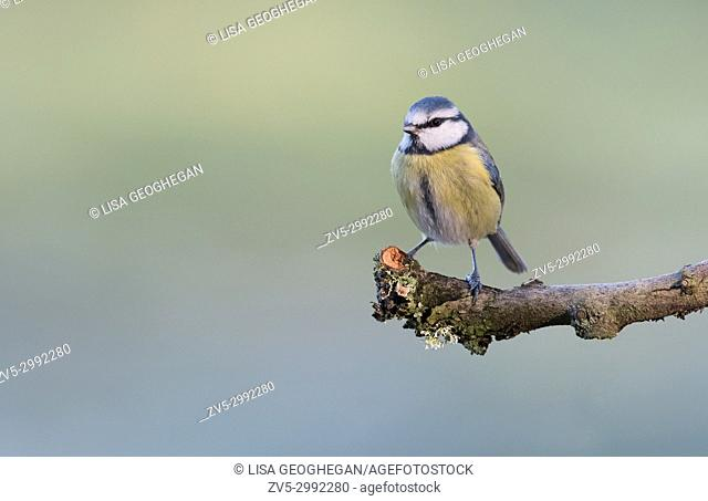 Blue Tit- Parus caeruleus. Uk
