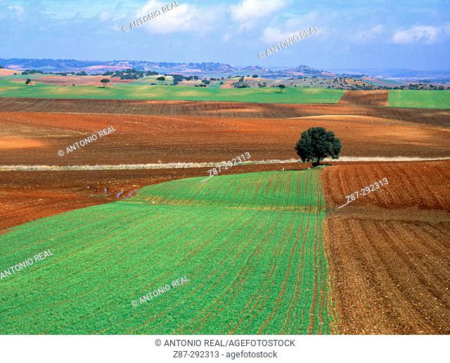 Cereal fields near Honrubia. Cuenca province, Spain