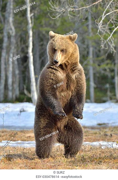 Brown bear (Ursus arctos) standing on his hind legs on a bog in the spring forest