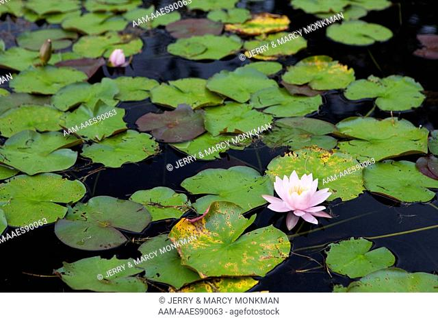 A fragrant water lily, Nymphaea odorata, on Mirror Lake in Woodstock, NH. Near Hubbard Brook Experimental Forest. White Mountains