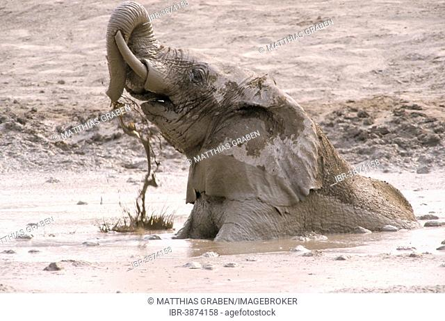 African Elephant (Loxodonta africana) taking a mud bath, Namutoni, Etosha National Park, Namibia