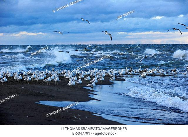 Flock of Ring-billed Gulls (Larus delawarensis) sitting at the southernmost point of Canada on Lake Erie, Point Pelee Nationalpark, Lake Erie, Ontario Province