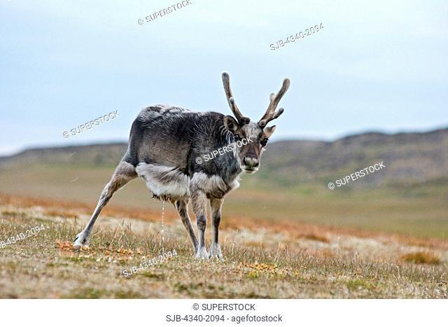A Svalbard reindeer Rangifer tarandus platyrhynchus a small subspecies of Rangifer tarandus, calf forages on the tundra, Sassenfjorden, Svalbard, Norway