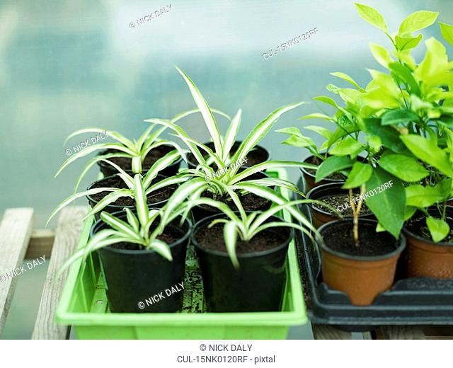 Some potted spider plants