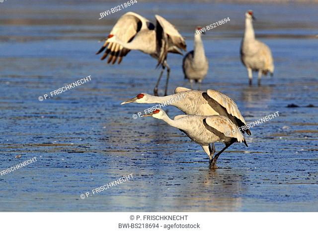 sandhill crane (Grus canadensis), group standing in shallow stretch of water, USA, New Mexico, Bosque del Apache National Wildlife Refuge