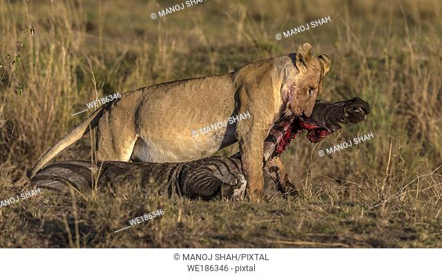 Lioness dragging a zebra kill in Masai Mara