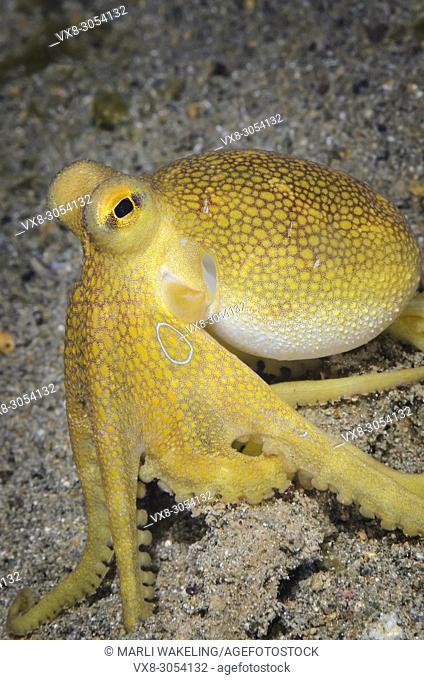 Poison ocellate octopus, Amphioctopus mototi, Anilao, Batangas, Philippines, Pacific