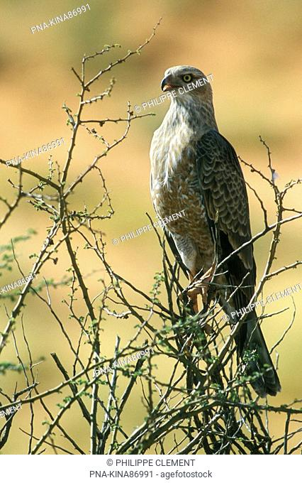 Pale Chanting-Goshawk Melierax canorus - Kgalagadi Transfrontier Park, Kalahari Desert, South Africa, Africa