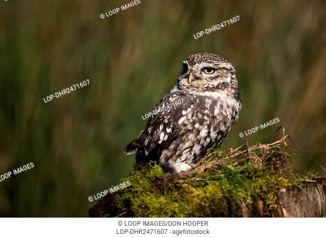 A Little Owl standing on an old tree stump