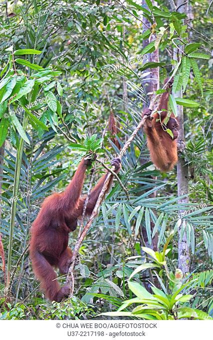 Orang utans, Semenggoh Wildlife Centre, Sarawak, Malaysia