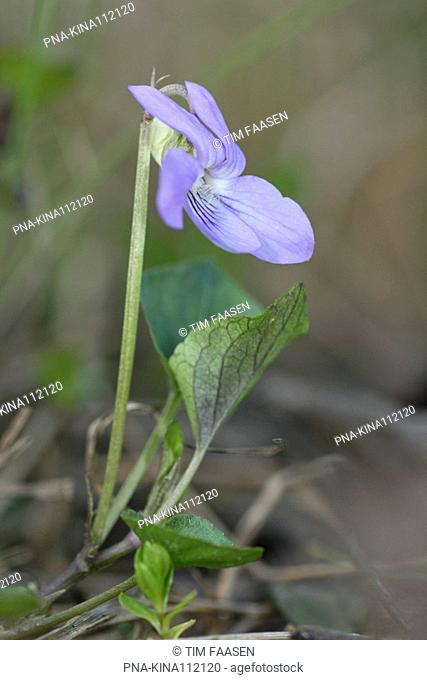 Common Dog-violet Viola riviniana - Eckartse bos, Eckartdal, Eindhoven, Campine, North Brabant, The Netherlands, Holland, Europe