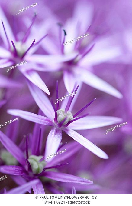 Allium 'Globemaster' flowerhead close up showing star shaped florets