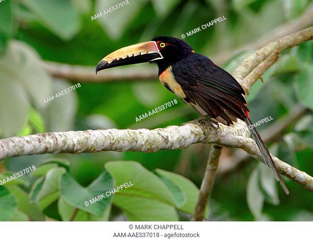 Collared Aracari (Pteroglossus torquatus), Soberania National Park, Panama