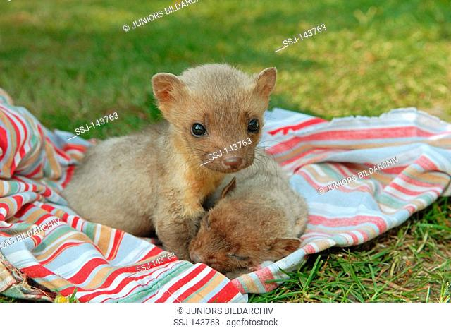 two young beech martens - lying on blanket / Martes foina