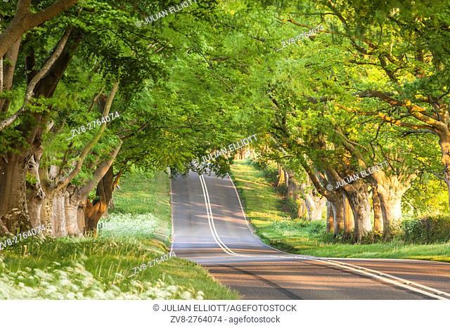 Beech tree avenue, Kingston Lacy, Dorset