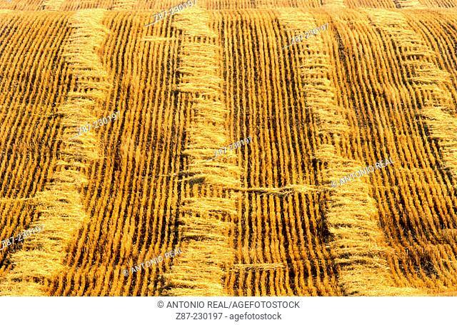 Grain field. Albacete province. Spain