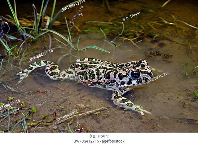 Eastern Green toad, Eastern Variegated toad (Bufo viridis variabilis, Bufo variabilis, Bufotes viridis, Bufotes variabilis ), in shallow water, Romania