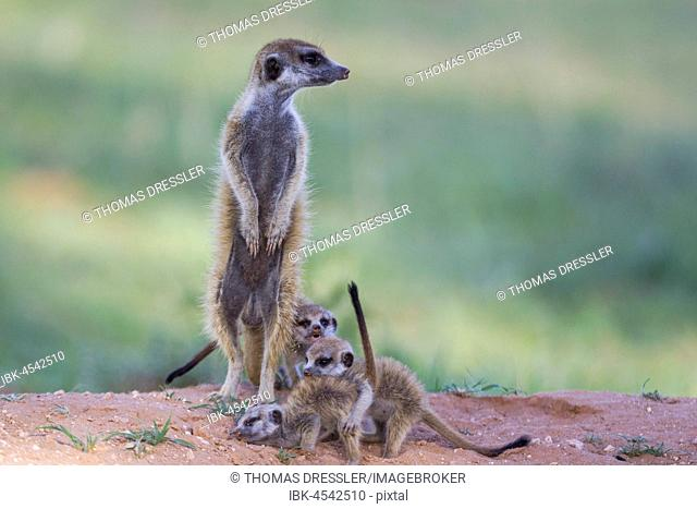 Suricates (Suricata suricatta), female with three playful young in the evening at their burrow, during the rainy season in green surroundings, Kalahari Desert