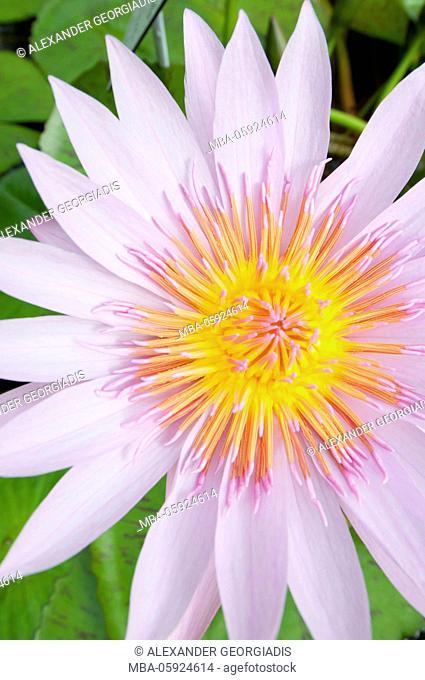 Water lily Albert Greenberg (Nymphaea hybrid, Nymphaeaceae)