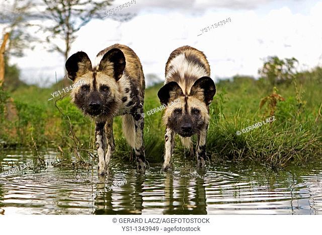 AFRICAN WILD DOG lycaon pictus, PAIR ENTERING WATER, NAMIBIA